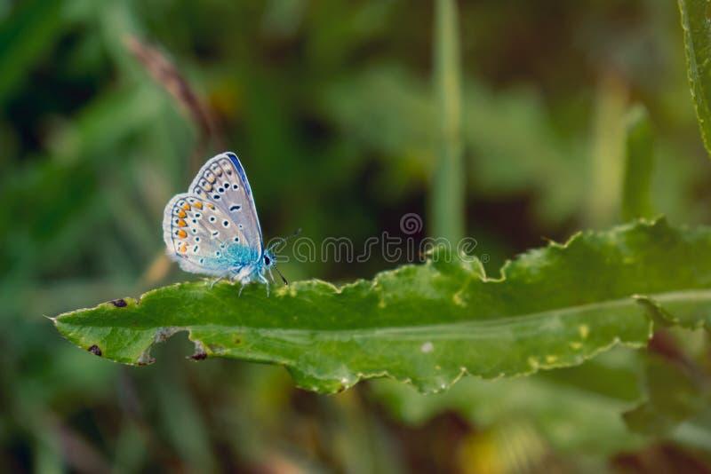 Borboleta azul comum na folha verde fotografia de stock