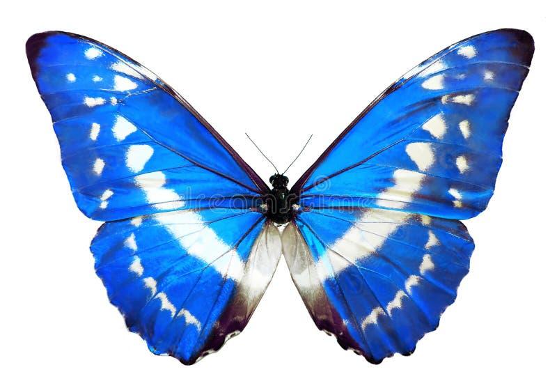 Borboleta azul de Helena do morpho fotografia de stock royalty free