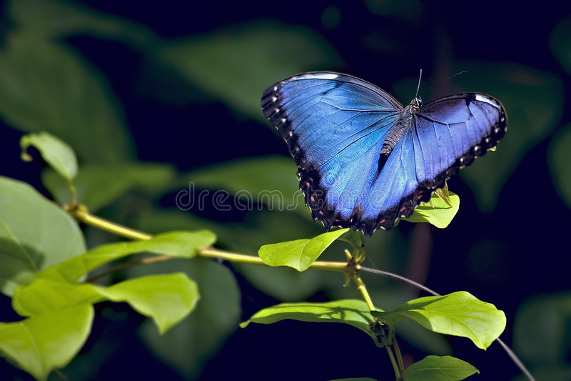 Borboleta azul de Morpho fotografia de stock royalty free