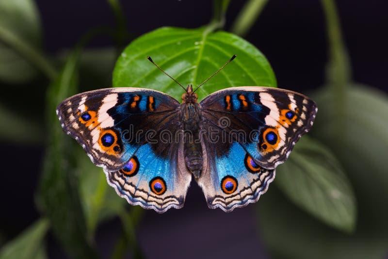 Borboleta azul do Pansy foto de stock