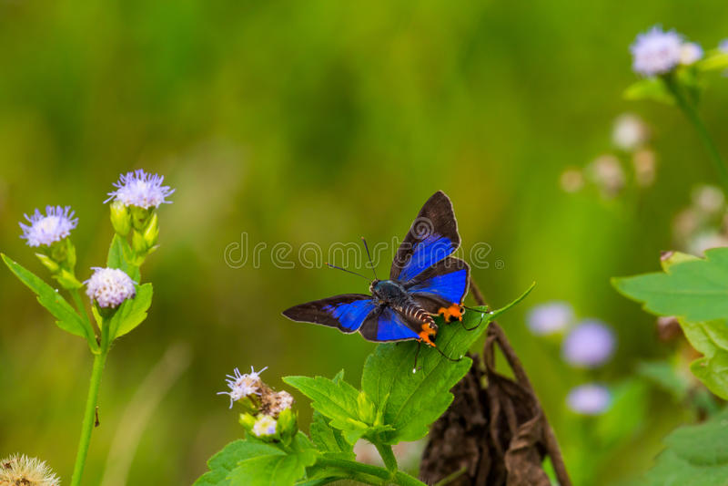 Borboleta azul e flores selvagens com fundo verde imagem de stock