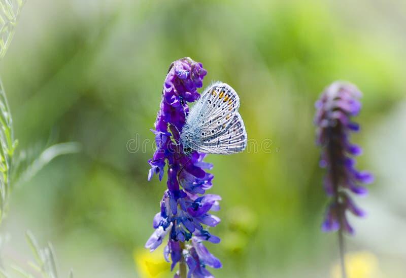 Borboleta azul em uma flor foto de stock