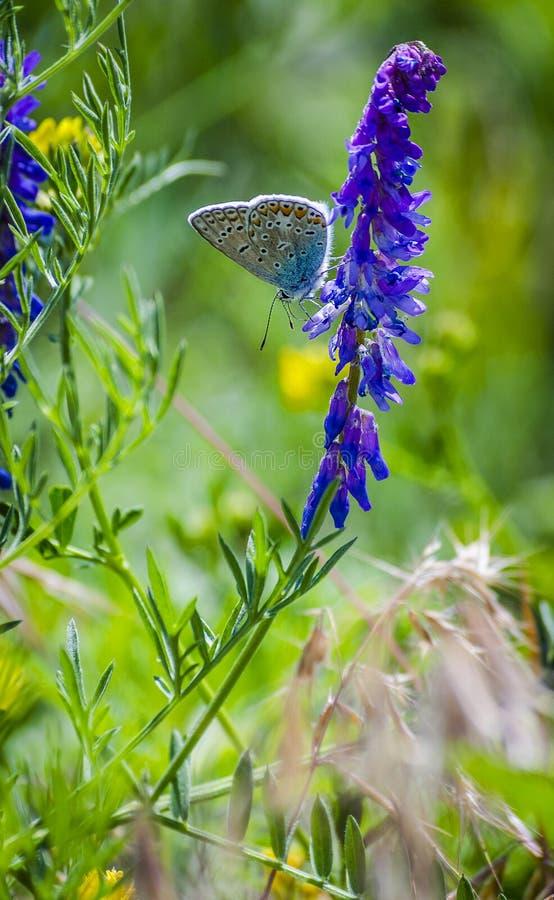 Borboleta azul em uma flor fotos de stock royalty free