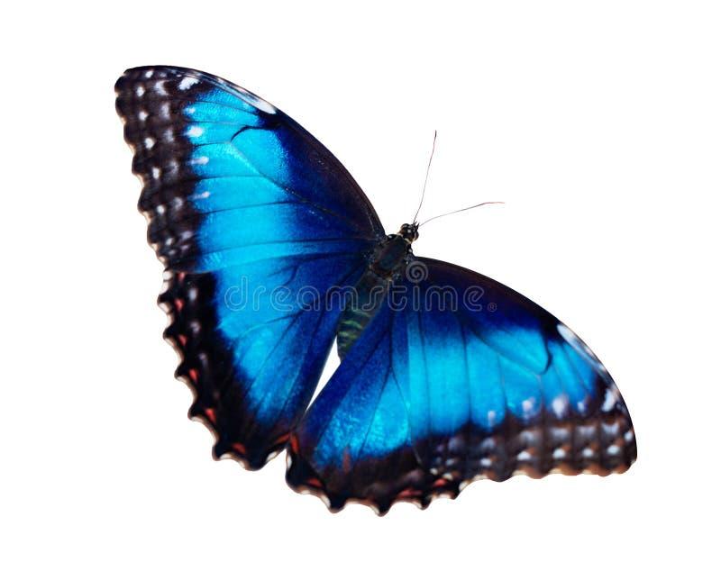 A borboleta azul fêmea do morpho isolada no fundo branco com asas abre fotografia de stock royalty free