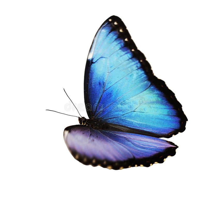 Borboleta azul masculina brilhante de voo do morpho isolada no fundo branco foto de stock royalty free