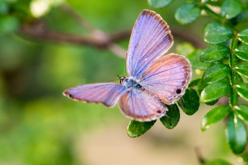 A borboleta azul nas folhas com um verde borrou o fundo imagem de stock royalty free