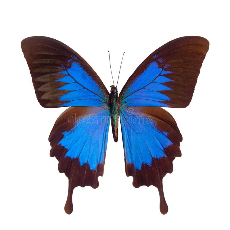 Borboleta azul Papilio tropical ulysses, Papuá-Nova Guiné foto de stock royalty free