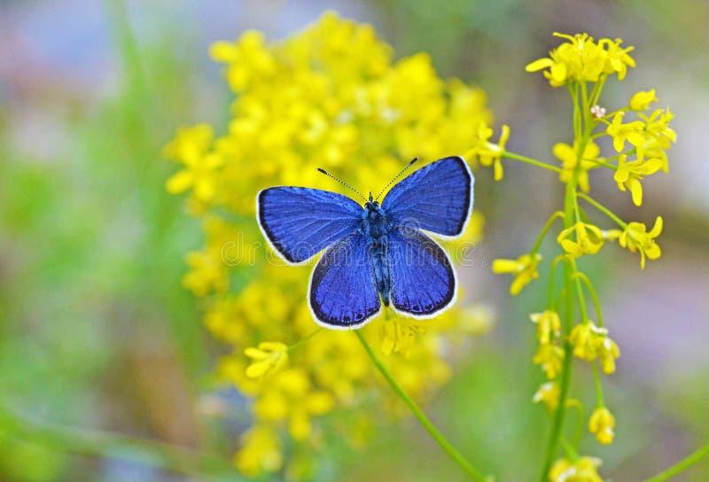 Borboleta azul pequena na flor amarela fotos de stock