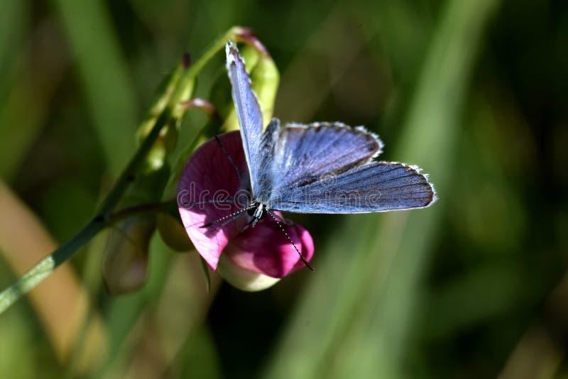 Borboleta azul que espalha suas asas fotografia de stock royalty free