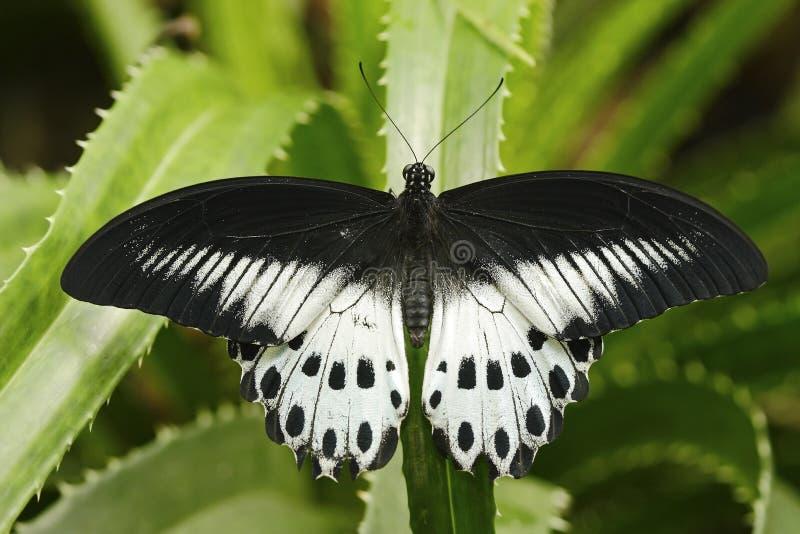 Borboleta bonita do mórmon azul de Indoa, polymnestor de Papilio, sentando-se nas folhas verdes Inseto na floresta tropica escura imagens de stock