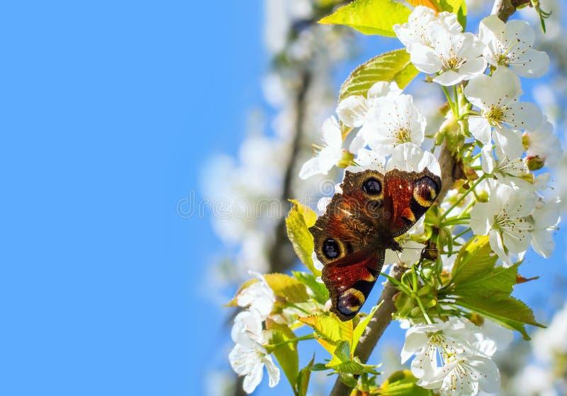 Borboleta bonita e ramo de florescência da cereja doce fotografia de stock royalty free
