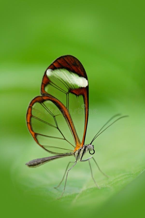 Borboleta bonita, Nero Glasswing, nero de Greta, close-up da borboleta de vidro transparente da asa nas folhas verdes Cena de tro fotografia de stock royalty free
