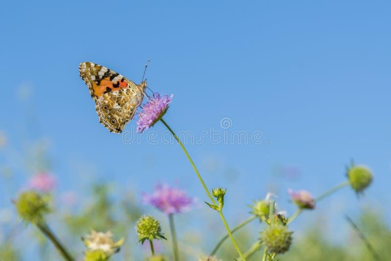 Borboleta bonita que alimenta em um close up cor-de-rosa brilhante da flor Borboleta macro contra o céu azul Borboleta em uma flo imagem de stock