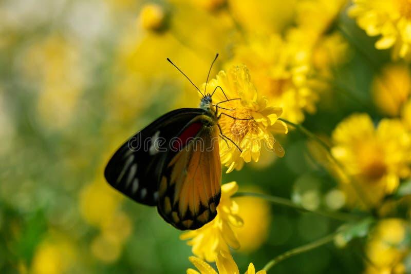 Borboleta bonita que suga a água doce das flores amarelas foto de stock royalty free