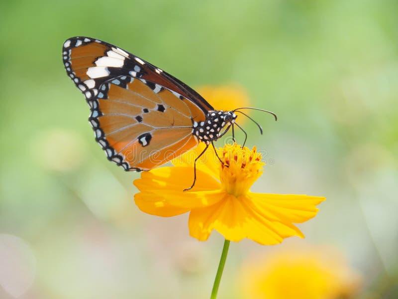 A borboleta bonita que suga em flores e luz do sol do agridoce, fundo e espaço obscuro para o texto ou símbolo com natural seja imagens de stock royalty free