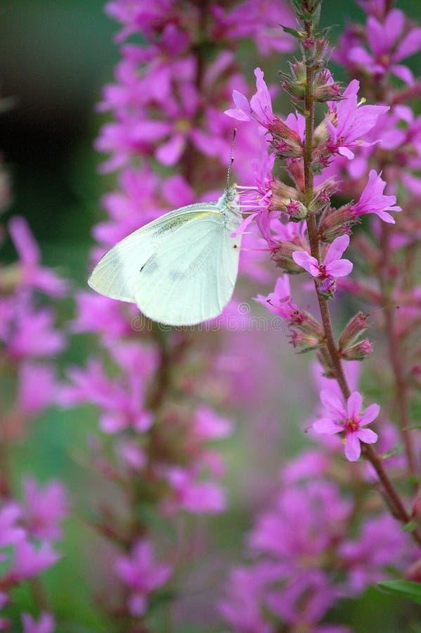 Borboleta branca em flores cor-de-rosa fotografia de stock royalty free