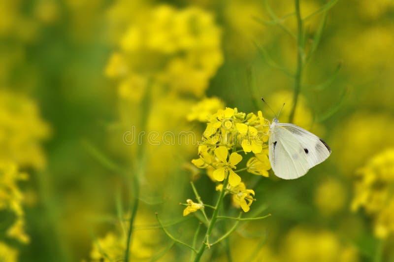 Borboleta branca em um campo amarelo imagem de stock