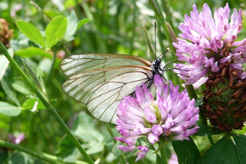 Borboleta branca em uma flor foto de stock royalty free