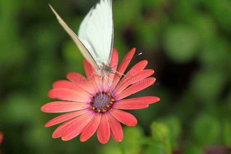 Borboleta branca em uma flor alaranjada vermelha fotografia de stock royalty free