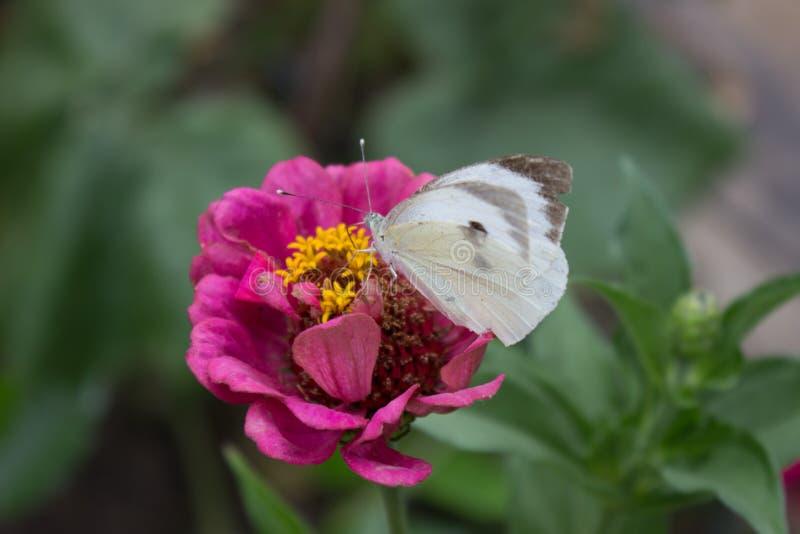 Borboleta branca lisa que alimenta na flor cor-de-rosa no jardim fotografia de stock