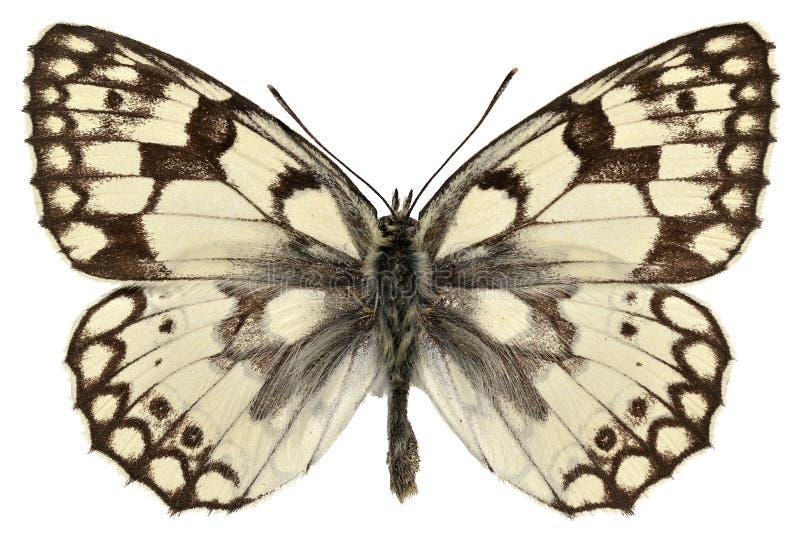 A borboleta branca marmoreada de Esper isolado foto de stock