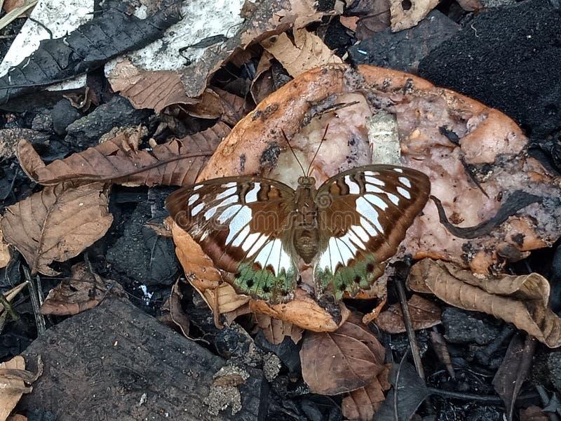 A borboleta branca, verde, bronzeia em fruto quebrado fotos de stock