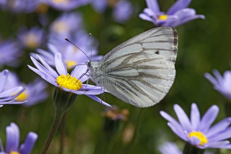 (borboleta branca Verde-veada do napi do Pieris) foto de stock royalty free
