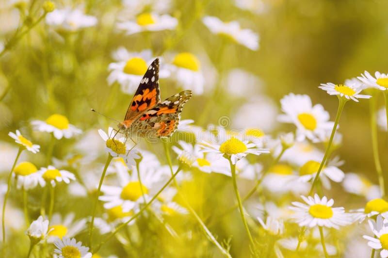 Borboleta brilhante nas flores da camomila Foto bonita do verão imagem de stock