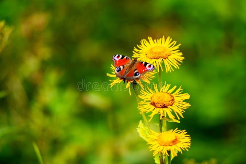 A borboleta brilhante senta-se em wildflowers amarelos fotos de stock royalty free
