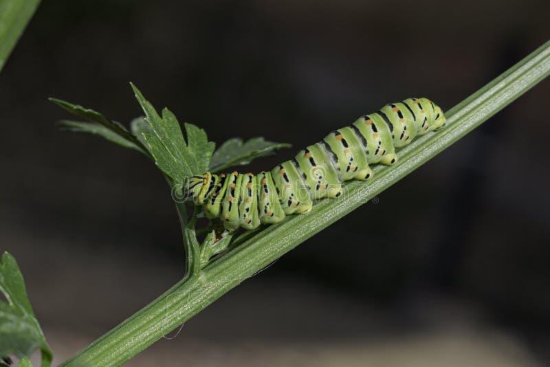 Borboleta Caterpillar de Swallowtail do Velho Mundo que come as folhas do aipo imagem de stock