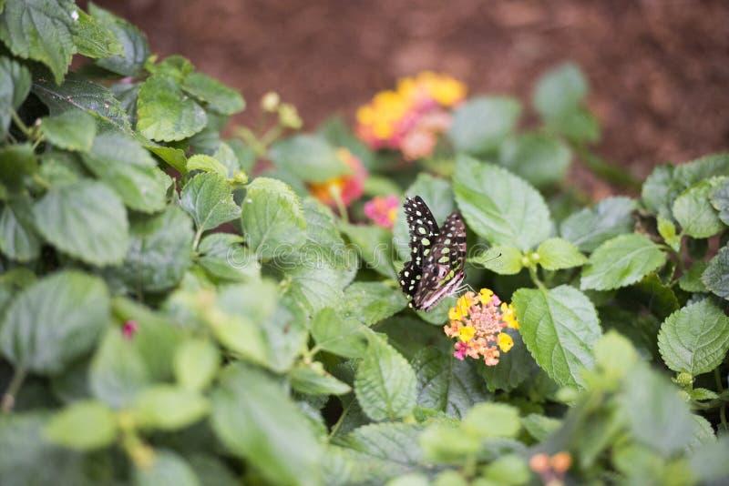 Borboleta colorida que beija as flores fotos de stock royalty free