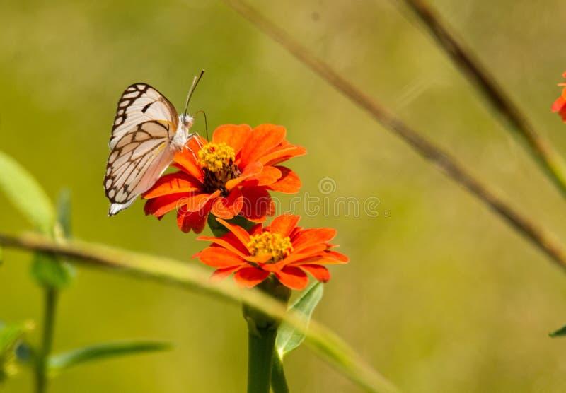 Borboleta com flor imagem de stock royalty free