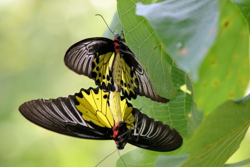 Borboleta comum de Birdwing fotografia de stock