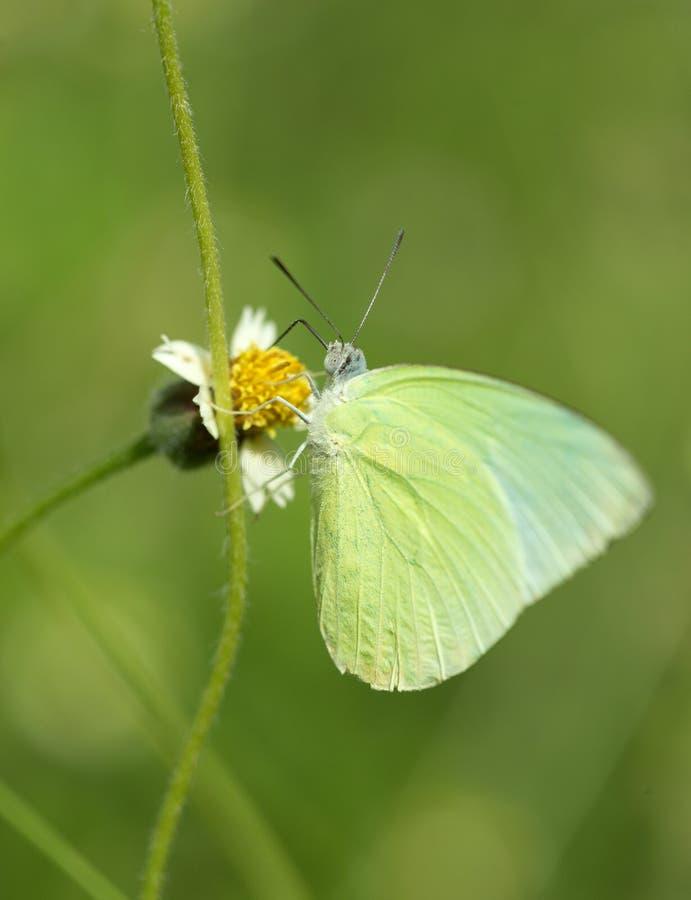 Borboleta comum do amarelo da grama (contubrenalis do hecabe de Eurema (amarre fotografia de stock royalty free