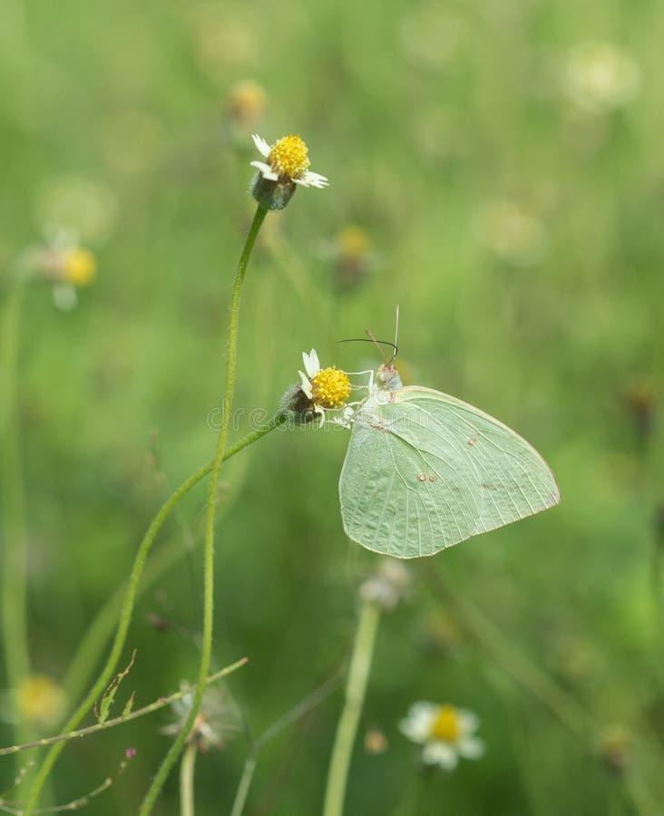 Borboleta comum do amarelo da grama (contubrenalis do hecabe de Eurema (amarre foto de stock royalty free