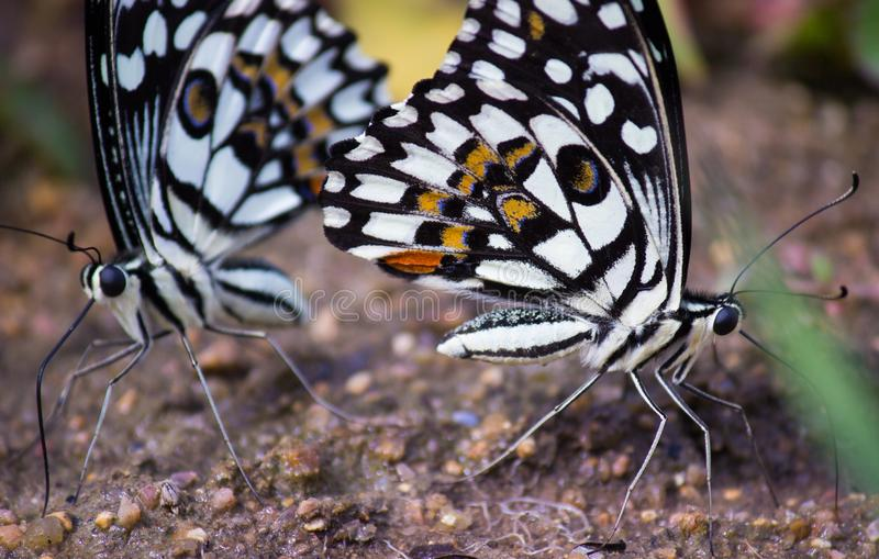 A borboleta comum do cal que senta-se na terra fotos de stock