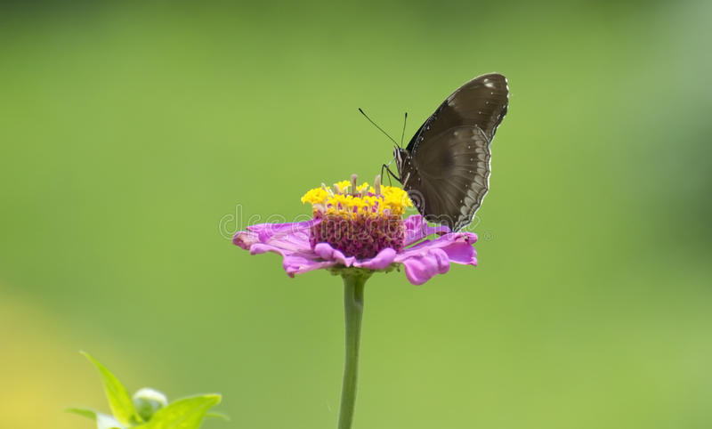 Borboleta comum do corvo na flor cor-de-rosa imagem de stock