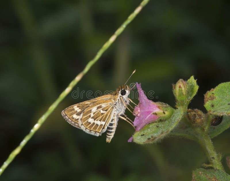 Borboleta comum em montes de Garo, Meghalaya do dardo da grama, Índia foto de stock royalty free
