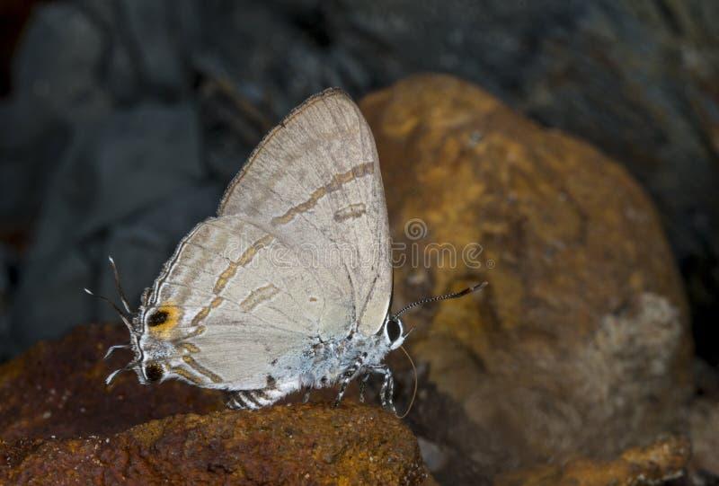 Borboleta comum em montes de Garo, Meghalaya do melharuco, Índia fotos de stock royalty free