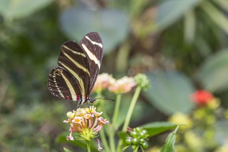 Borboleta da asa da zebra imagens de stock