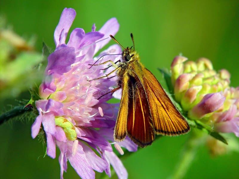 A borboleta da família Hesperiidae. fotografia de stock royalty free