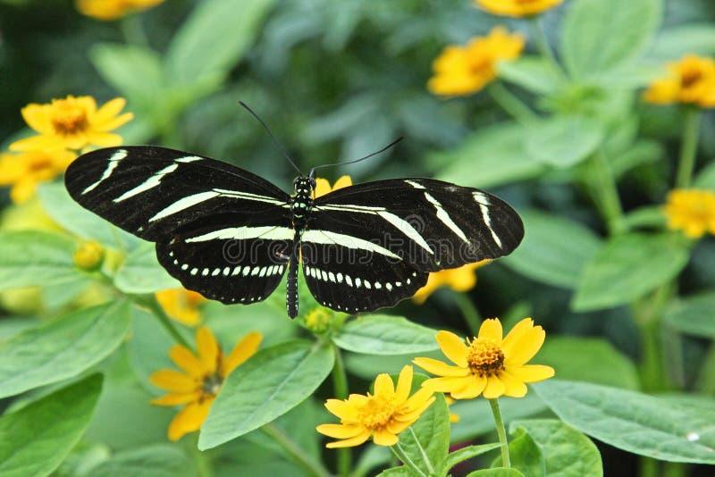 Borboleta da zebra fotografia de stock