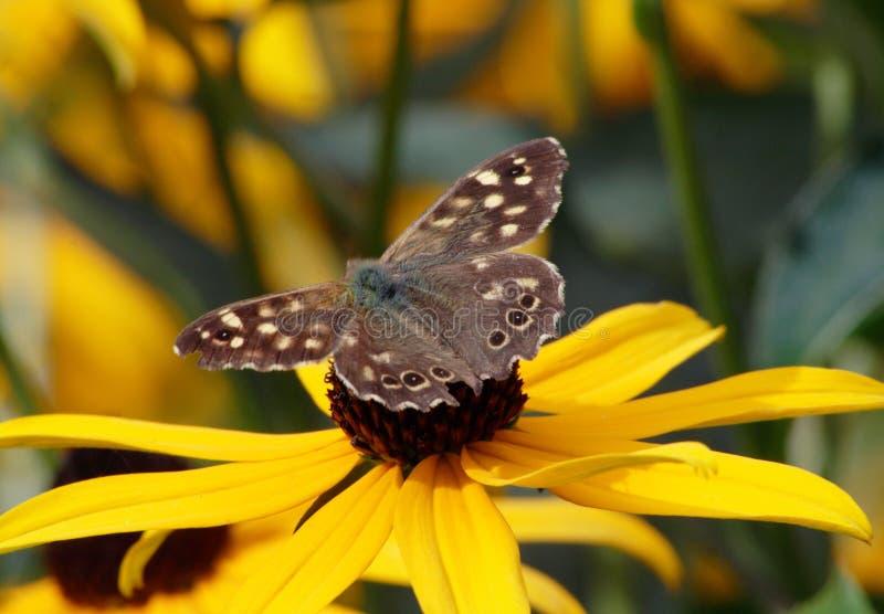 Borboleta de Brown na flor amarela fotos de stock royalty free