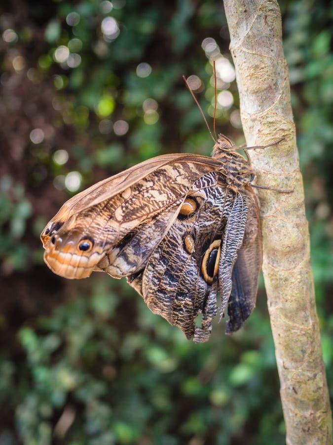 Borboleta de Brown que descansa em um ramo nas madeiras foto de stock royalty free