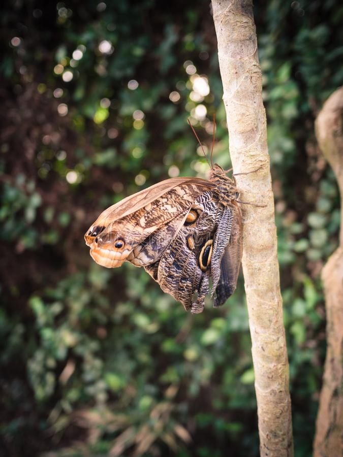 Borboleta de Brown que descansa em um ramo nas madeiras imagem de stock royalty free