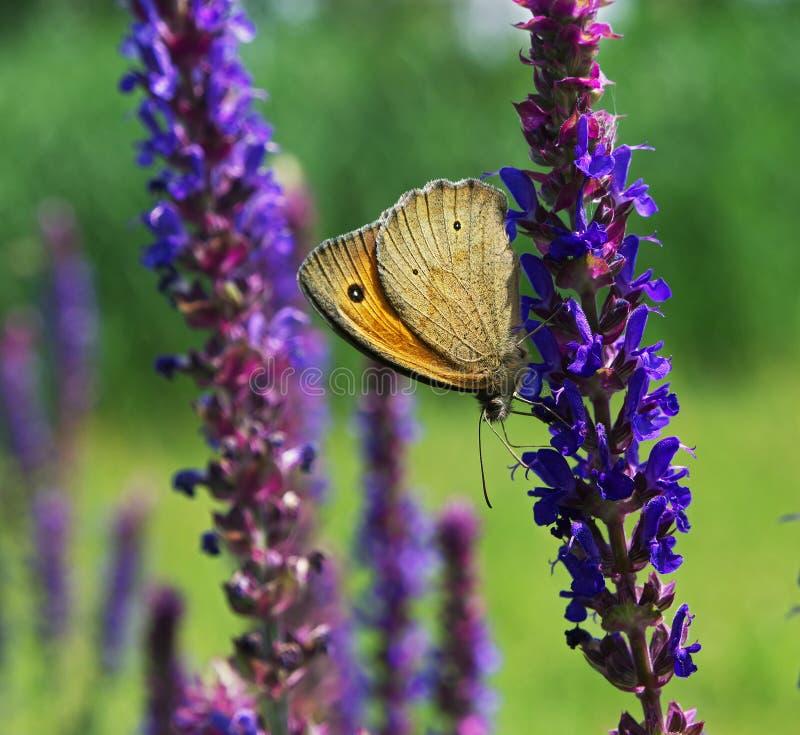 Borboleta de Brown que escala para baixo a flor lilás foto de stock