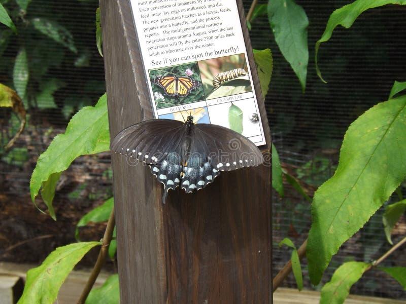 Borboleta de Bush de especiaria Swallowtail foto de stock royalty free