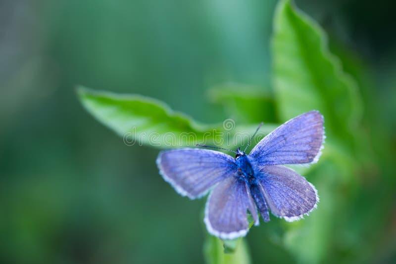 A borboleta de cobre azul do close up no verde sae com o fundo borrado foto de stock royalty free