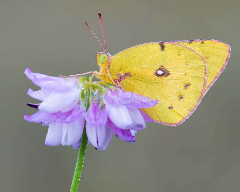 Borboleta de enxôfre amarela na flor roxa fotos de stock