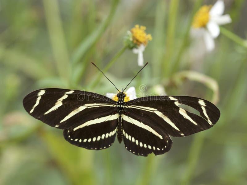 Borboleta de Longwing da zebra em Geórgia imagens de stock